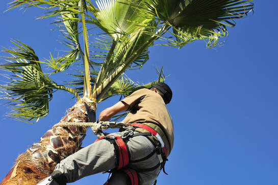 Professional tree trimmer in harness trimming branches of palm tree in urban setting.