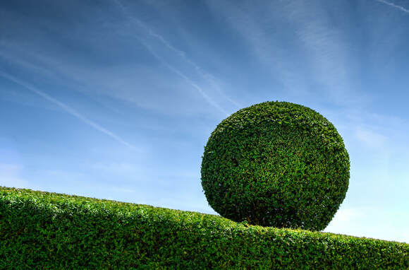 Rounded topiary hedge with evenly cut shrubbery with a bright blue sky background.
