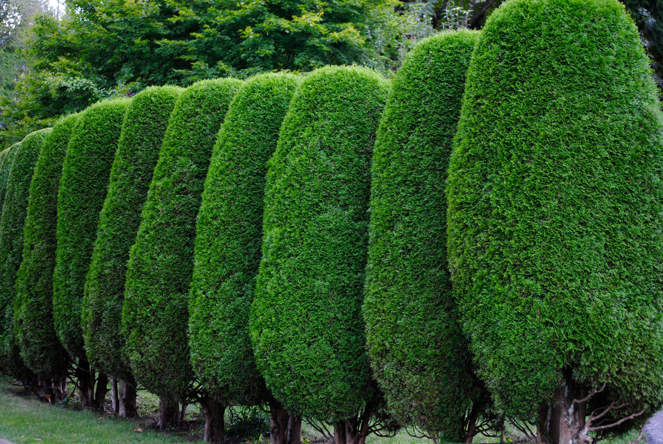 Beautifully cut and rounded hedges add decorative elements to any home's outdoor space.