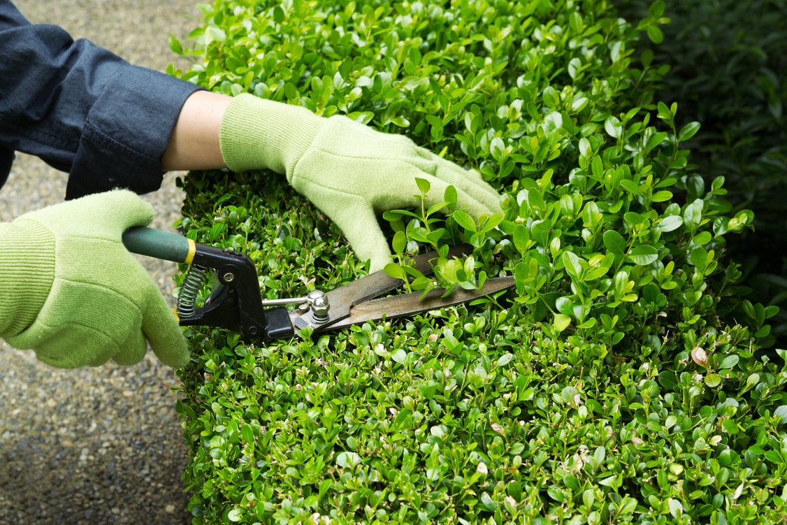 Professional hedge trimmer using trimming scissors to evenly cut an overgrown hedge.